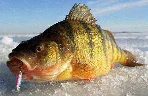 Perch nutritional value