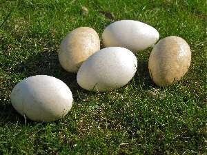 Αυγο χηνας θερμιδικη αξια